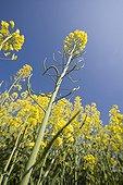 Field of Rapeseed in bloom