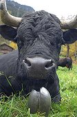 Portrait of a cow lying Herens breed of Switzerland