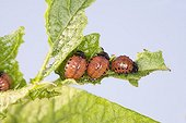 Larvae of the Doryphoros on a leaf of potato