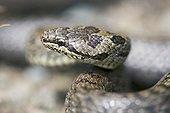 Smooth snake Kärnten Austria ; @ Austrian species