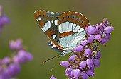 Butterfly gathering nectar on Heath flower Corrèze France