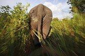 Asian elephant running Sumatra Indonesia