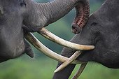 Games of youngs males Asian elephants Sumatra Indonesia