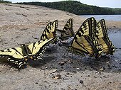 Eastern tiger swallowtails absorbing minerals Mauricie NP