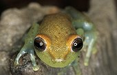Portrait of a Zidok Cochran Frog French Guiana