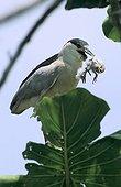 Bihoreau gris avec un oisillon dans le bec Guyane française