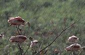 Roseate Spoonbills in the rain French Guiana