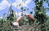Roseate Spoonbills on nest French Guiana