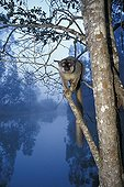 Brown Lemur perched at the end of a dead branch Madagascar