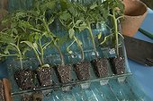 """Vente par correspondance de plants de tomates France ; Jeunes plants de tomates """"Prestimottes"""", commercialisés par """"Jardin Express"""", à réception."""