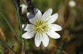 Flower of  arctic mouse ear Bathurst Island Canada