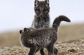 Arctic fox cubs playing in the tundra Nunavut Canada