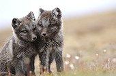 Arctic fox cubs sat in the tundra Nunavut Canada