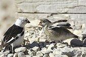 Bruant des neiges mâle nourrissant son petit Canada ; Cornwallis (Ile de). Localisation: Resolute Bay.