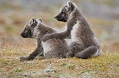 Renardeaux polaires complices dans la toundra Nunavut Canada