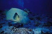 Humphead Wrasse and diver Rangiroa Tuamotu Polynesia