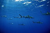 Group of Blacktip reef sharks swimming