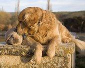 Tenderness between rabbit and Golden retriever dog France