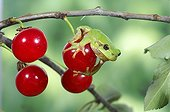 Tree frog on a red Currant berry France