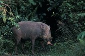 Bearded Pig going in forest Tanjung Putting NP