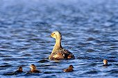 Northern Eider female swimming with chicks Arctic ; On a small lake of tundra.