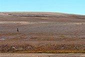 Trekker in the tundra of Bathurst Island Canada ; Trekker dans la toundra de l'Ile de Bathurst Canada