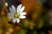 Flower of alpine mouse ear Bathurst Island Canada ;