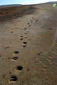 Polar bear tracks on a beach in Canadian Arctic