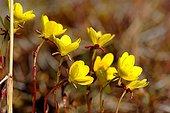 Arctic buttercups in full bloom Canadian Arctic ; Renoncules arctiques en pleine floraison Arctique canadien