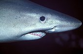 Head of a Smalltooth Sand Tiger Malpelo Pacific Ocean