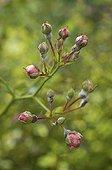 Oïdium du Rosier sur des boutons de Rose 'Dorothy Perkins' ; . Cette variété de Rose est très fragile.