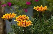 Gazania in bloom