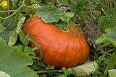 Potiron 'Rouge Vif d'Etampes' dans un jardin potager