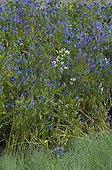 Vipérine 'Blue Bedder' dans un jardin