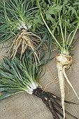 Harvest of salsify black salsify and parsnip