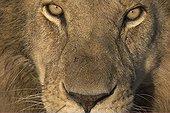 Regard de Lion Masaï Mara Kenya