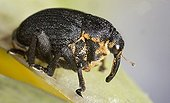 Close-up of Weevil on a flowering plant  France