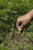 Thinning of carrot seedlings in the garden