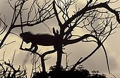 Lesser Antillean Iguana perched on a tree Guadeloupe