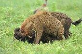 Hyènes tachetées se disputant pour une carcasse de gnou