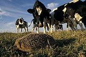 European Hedgehog satisfying the curiosity of a cow Picardie
