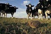 European Hedgehog satisfying the curiosity of cows Picardie