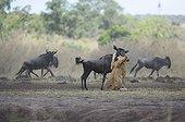 Lionne capturant un gnou Masaï Mara Kenya