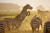 Grant's zebra rearing up Nakuru NP Kenya