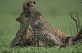 Cheetahs grooming Masai Mara