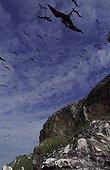 Sea birds nesting colony Ile du Connetable French Guiana