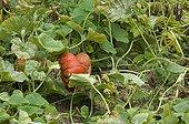Potiron 'Rouge d'Etampes' au jardin potager