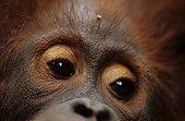 Regard d'un jeune Orang-outan Bornéo Indonésie