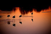 Flamingos walking in water at sunset