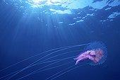Mauve stinger jellyfish swimming